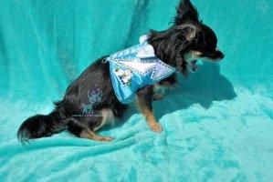Hunde Softgeschirr Smoking Hochzeit Anzug Strass schleife Fliege Blau weiß Feierlich Chihuahua