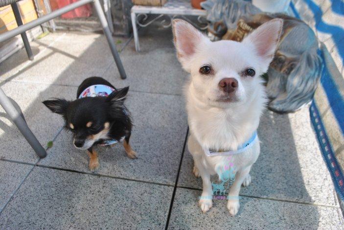 Chihuahua Hunde Softgeschirr Tattoo Art hellblau