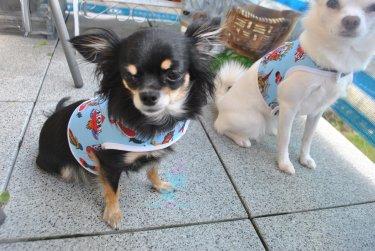 Hunde Chihuahua Geschirr Softgeschirr Mom Tattoo Art
